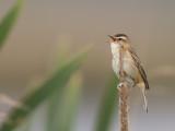 sedge warbler(Acrocephalus schoenobaenus, NL: rietzanger)