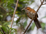 rusty-cheeked scimitar babbler(Pomatorhinus erythrogenys)