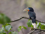 rufous-necked hornbill (f.)(Aceros nipalensis)