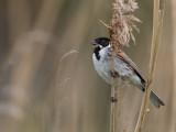 reed bunting(Emberiza schoeniclus, NL: rietgors)