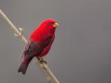 scarlet finch(Carpodacus sipahi)