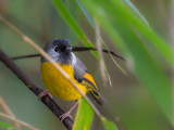 golden-breasted fulvetta(Alcippe chrysotis)