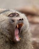 olive baboon(Papio anubis)