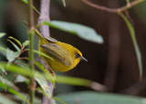 golden babbler(Stachyris chrysaea)