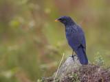blue whistling thrush(Myophonus caeruleus)
