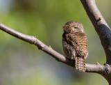 asian barred owlet(Glaucidium cuculoides)