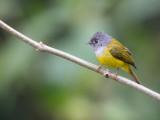 grey-headed canary-flycatcher(Culicicapa ceylonensis)