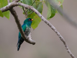 asian emerald cuckoo(Chrysococcyx maculatus)