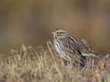 savannah sparrow(Passerculus sandwichensis)