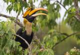 great hornbill(Buceros bicornis)