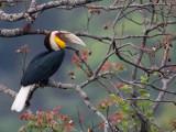 wreathed hornbill(Aceros undulatus)