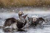 long-tailed duck(Clangula hyemalis; NL: ijseend)