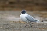 sabine's gull(Xema sabini, NL: vorkstaartmeeuw)