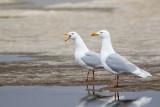glaucous gull(Larus hyperboreus)