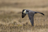 pomerine skua(Stercorarius pomarinus, NL: middelste jager)