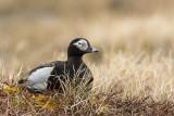 long-tailed duck (m.)(Clangula hyemalis; NL: ijseend)