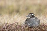 long-tailed duck (f.)(Clangula hyemalis; NL: ijseend)