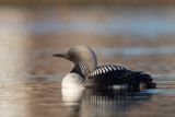 pacific loon(Gavia pacifica)