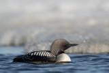 pacific loon(Gavia pacifica, NL: pacifische parelduiker)