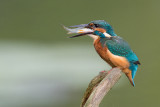 common kingfisher(Alcedo atthis, NL: ijsvogel)