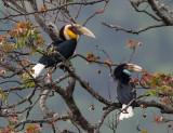 wreathed hornbill(Aceros undulatus, NL: gewone jaarvogel)