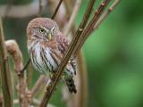 pacific pygmy-owl(Glaucidium peruanum, ESP: mochuelo peruano)