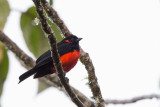 scarlet-bellied mountain-tanager(Anisognathus igniventris)