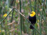 yellow-hooded blackbird(Chrysomus icterocephalus )