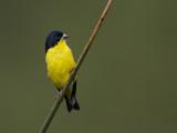 lesser goldfinch(Spinus psaltria)