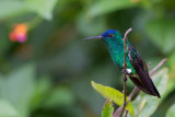 indigo-capped hummingbird(Amazilia cyanifrons)