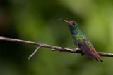 rufous-tailed hummingbird(Amazilia tzacatl)
