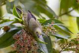palm tanager(Thraupis palmarum )