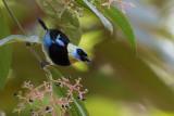 golden-hooded tanager(Tangara larvata)