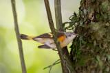 american redstart(Setophaga ruticilla)
