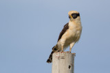 laughing falcon(Herpetotheres cachinnans)