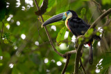 citron-throated toucan(Ramphastos citreolaemus)