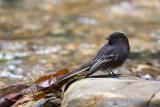 black phoebe(Sayornis nigricans)