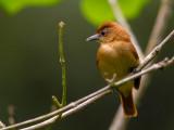 cinnamon becard(Pachyramphus cinnamomeus)