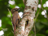 plain-brown woodcreeper(Dendrocincla fuliginosa)