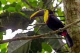 yellow-throated toucan(Ramphastos ambiguus)