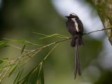 long-tailed tyrant(Colonia colonus)