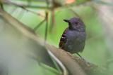magdalena antbird(Myrmeciza palliata)