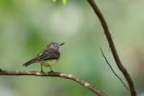 panama flycatcher(Myiarchus panamensis)