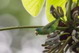 spectacled parrotlet(Forpus conspicillatus)