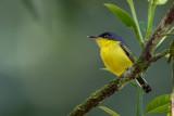 common tody-flycatcher(Todirostrum cinereum)