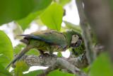 chestnut-fronted macaw(Ara severus)