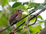 moustached puffbird(Malacoptila mystacalis)