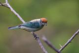 scrub tanager(Tangara vitriolina)