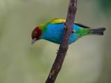 bay-headed tanager(Tangara gyrola)