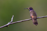 brown violetear(Colibri delphinae)